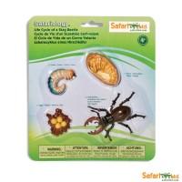Cycle de vie du scarabée cerf-volant