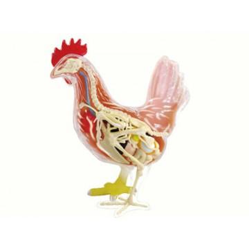 Anatomie 4D : poulet