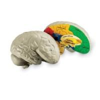 Coupe du cerveau