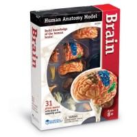 Modèle du cerveau à monter et démonter