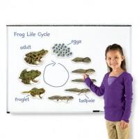 Aimants cycle de vie de la grenouille