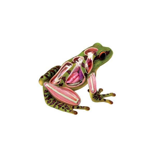 anatomie 4d   grenouille